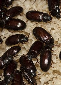 gândaci argentinieni